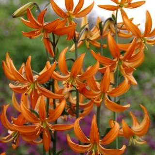 Lilium martagon Orange Marmelade